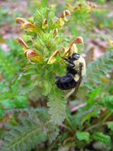 Pedicularis & Bee