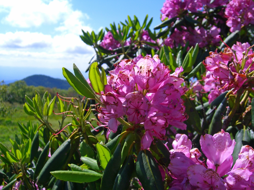 "Rhododendrons excel at ""just being"""