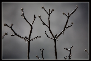 icy buds with border BW
