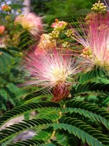 mimosa photo