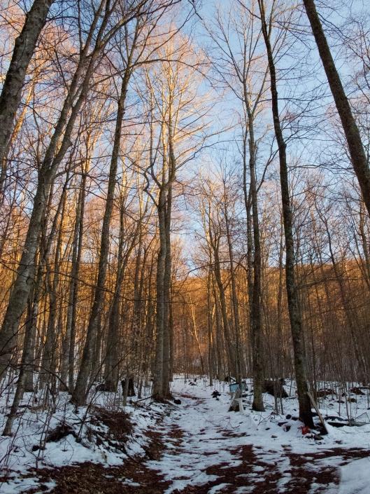 Golden winter woods