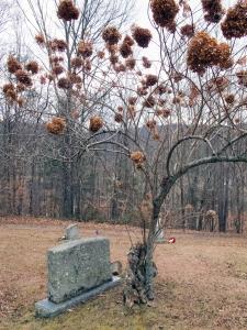 Weaverville graveyard tree