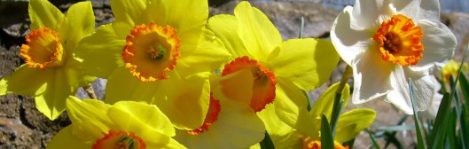Daffodil banner