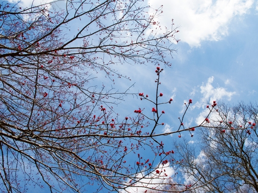 red maple sky