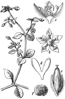 chickweed botanical