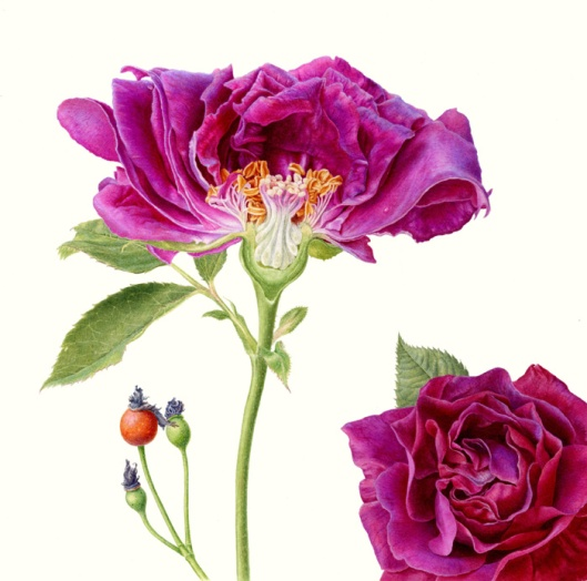 CarolynJenkins-Folio-Illustration-Agency-Watercolour-Botanical-Horticultural-Realism-Rose-L