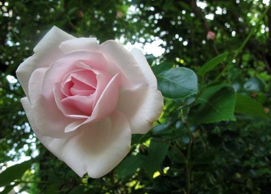 rose full shot