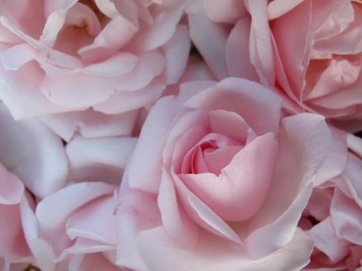 roses close