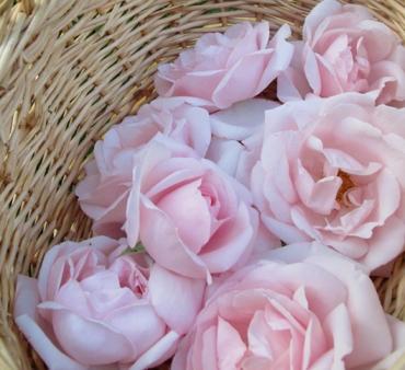 roses in basekt close