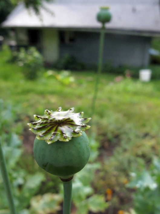 poppy in rain