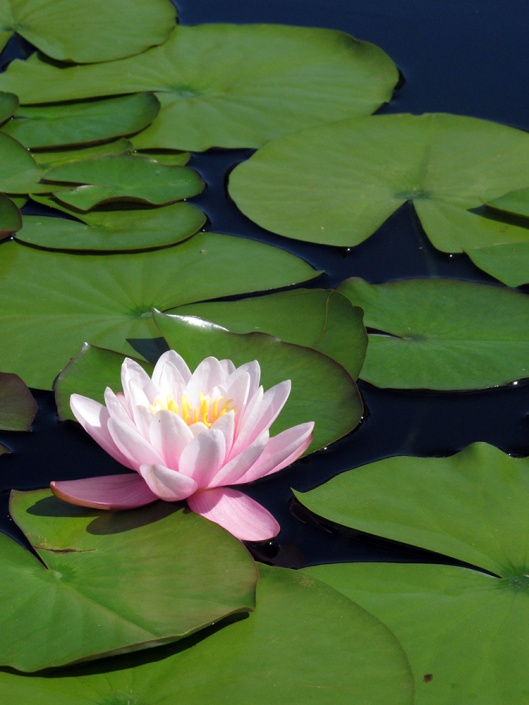 Water lilly 3