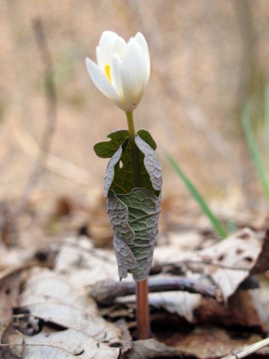 Bloodroot risk to bloom