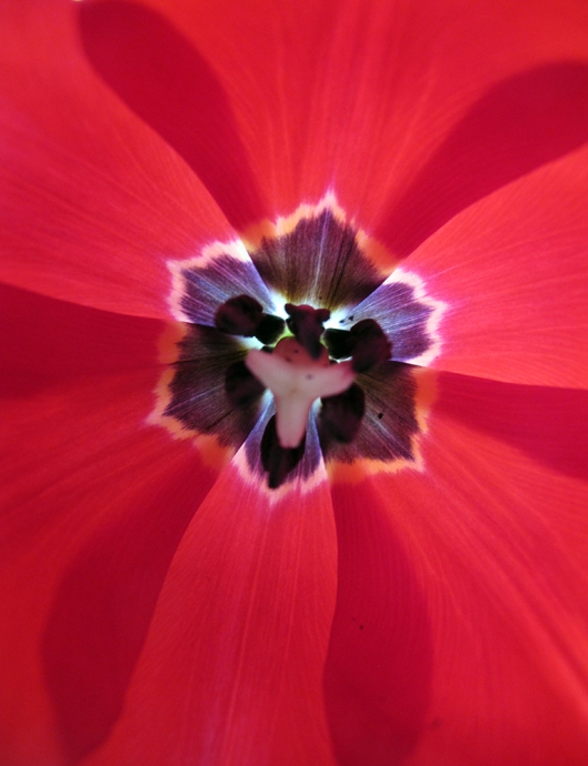 Tulip close