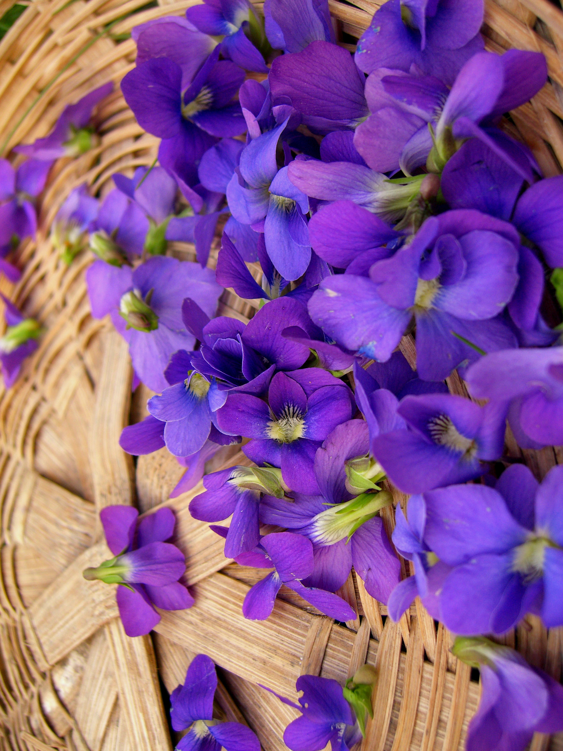 Violets at home - embodied the tenderness of spring