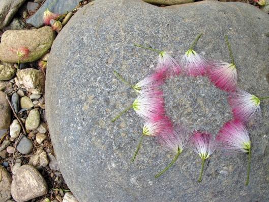 Mimosa circle