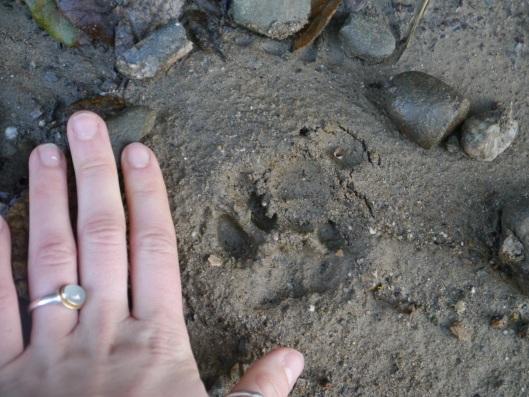 Bobcat paw