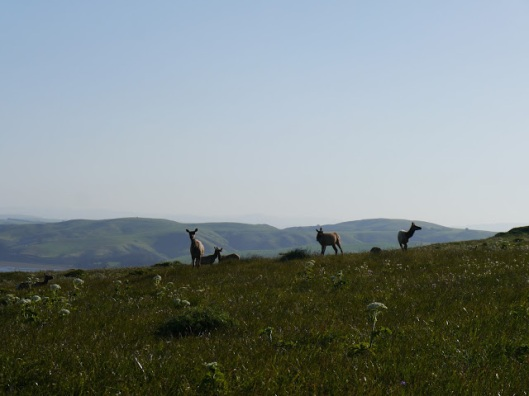 Elk cows in Pt Reyes