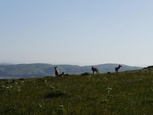 Elk cows in Pt Reyes