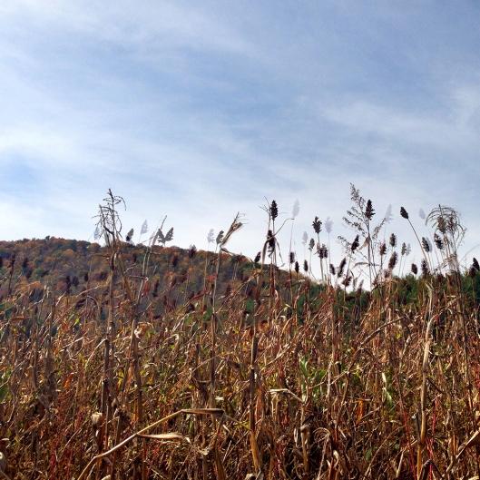 Sorghum field