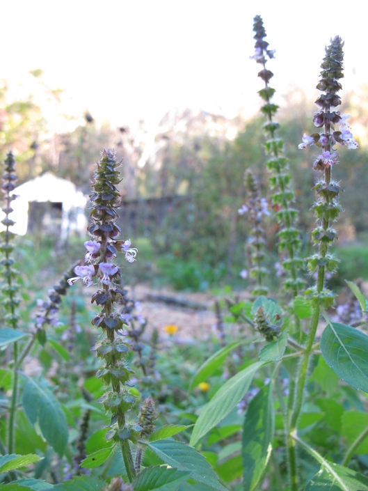 Tulsi with shed