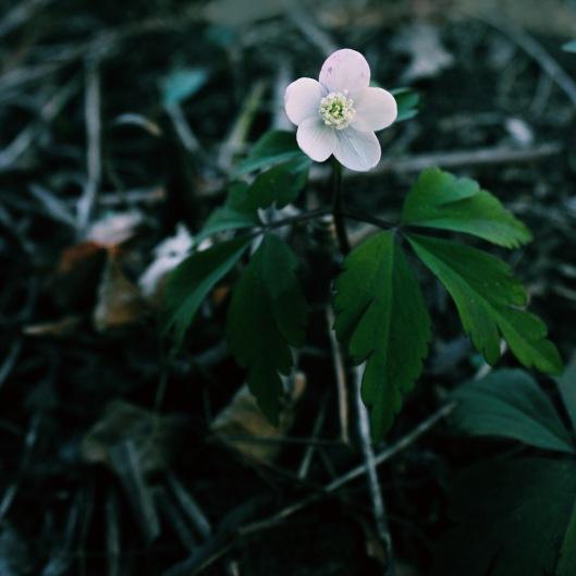 Anemone (Anemone quinquefolia)