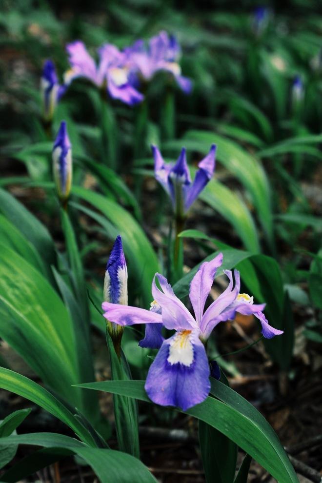Wild Iris (Iris cristata)
