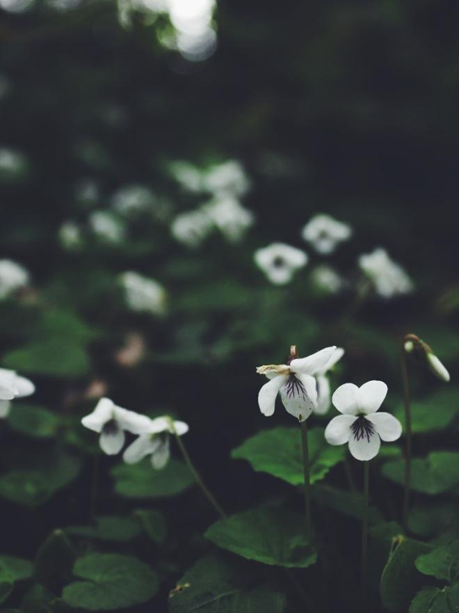 Wild White Violets (Viola sp.)