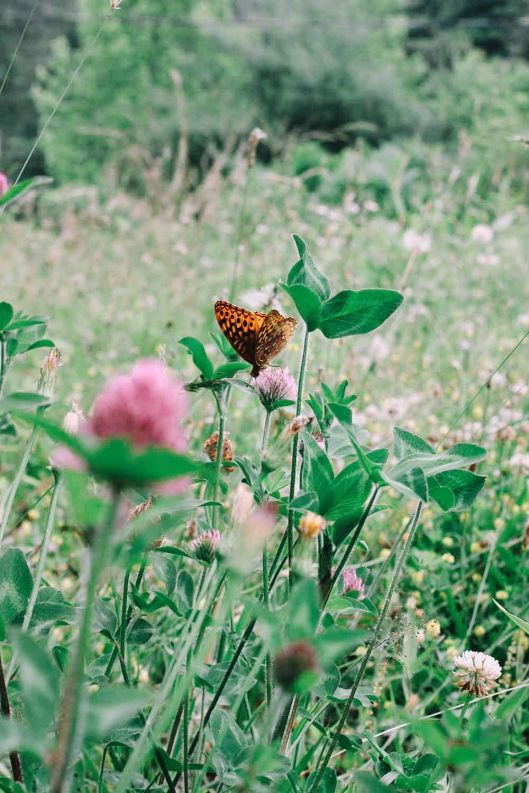 Butterfly on Clover