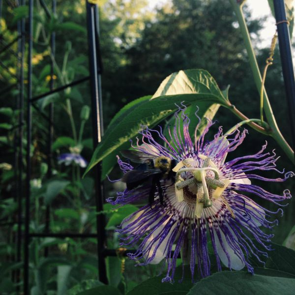 Passionflower at Sunset