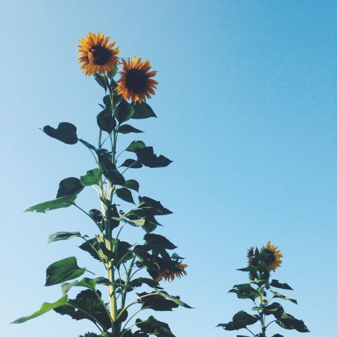 Sunflower heights