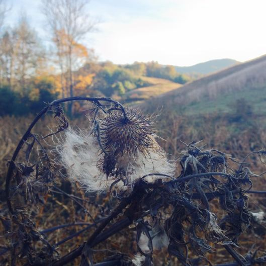 Thistle down in Autumn