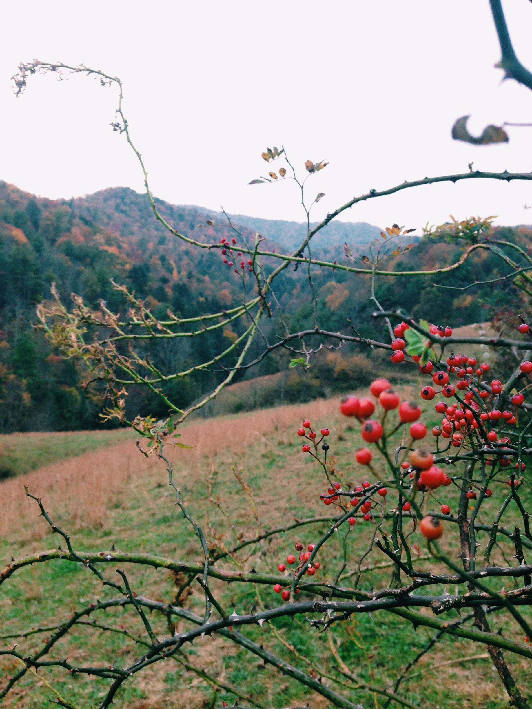 Rose Hips and Hills