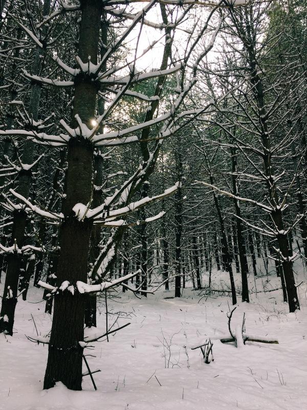 Darker pines.jpg