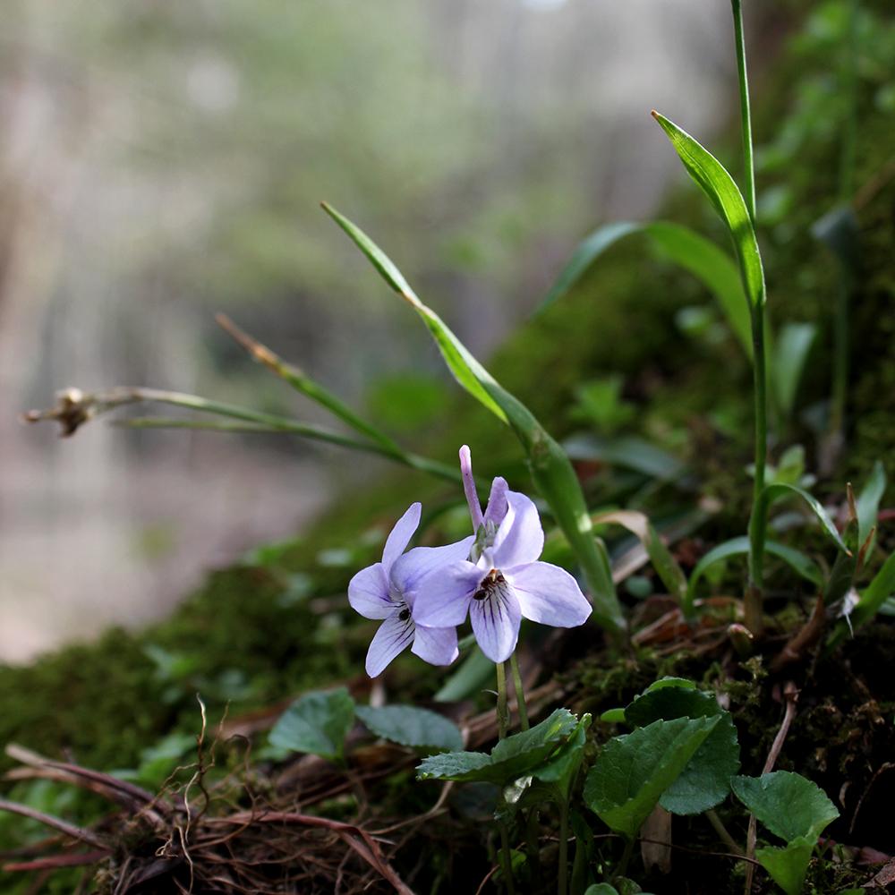 Wid violets