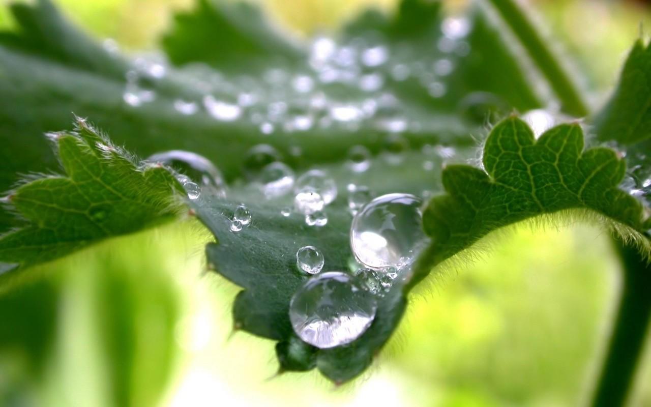 Water-drops-on-leaf-nettle-macro-wallpaper_1280x800